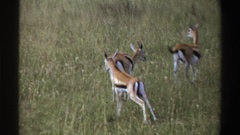 1969: a gazelle type ungulate herd walking in a savanna ecosystem NIGERIA Stock Footage