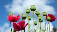 Colorful papaver flowers poppy heads on the blue cloudy sky Stock Footage