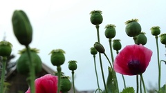 Bee on the papaver flower and poppy heads horizontal panning Stock Footage