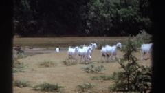 1969: a woman being followed by a group of goats SUDAN Stock Footage