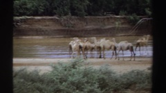 1969: group of camels gathered near a body of water. SUDAN Stock Footage