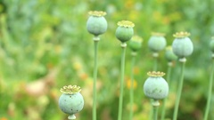 Poppy seed pods on the colorful  green  blurred background panning Stock Footage