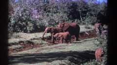 1969: elephants life in forest with their cutest family. KENYA Stock Footage