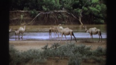 1969: camels reaching water source in forest,drinking at the banks of pool SUDAN Stock Footage