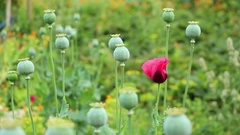 Papaver flower and poppy heads vertical panning focus changes Stock Footage