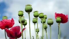 Papaver flowers and poppy heads on the cloudy sky background Stock Footage