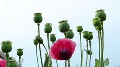Papaver red flower and poppy heads lockdown Stock Footage