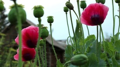 Papaver red flower and poppy heads diagonal panning Stock Footage