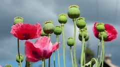 The wind shakes the poppy flowers on stormy sky background Stock Footage