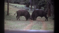 1969: two dark bulls in a fight butt heads on a forest path before one chases Stock Footage