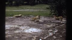 1969: female lions sitting on a stone platform SUDAN Stock Footage