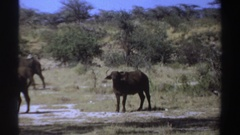 1969: when you encounter this animal please don't wear the wrong thing SUDAN Stock Footage