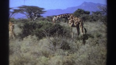 1969: a giraffe munches on a bountiful green bush. SUDAN Stock Footage