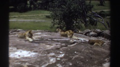 1969: three lions relaxing on rocky area. SUDAN Stock Footage