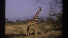 1969: giraffe flicks its tail while standing still in a shrubby field SUDAN Stock Footage