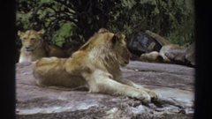 1969: lion sunbathes prone on broad and flat rock outdoors in front of another Stock Footage