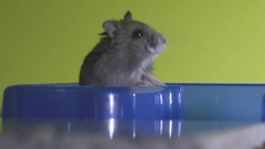 Grey hamster exploring, standing and sniffing Stock Footage