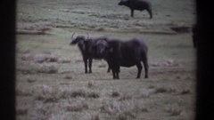 1969: no matter how fast an animal is you can always outsmart it to survive Stock Footage