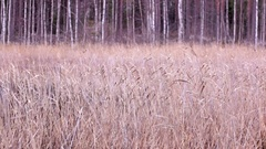 Autumn snofwall over bed of reeds Stock Footage