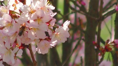 Bees and Sakura Flower, Slow Motion Stock Footage