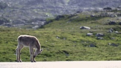 Baby reindeer walks on street Stock Footage