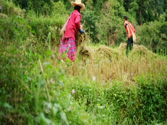 Chiang Mai, THAILAND - CIRCA 2016: People harvesting rice wearing tradition.. Stock Footage