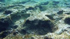 Following a Bluespotted cornetfish (Fistularia commersonii) Stock Footage