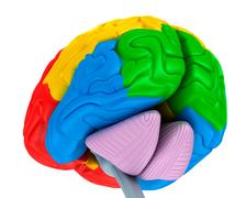 Brain lobes in different colors isolated on white . Medical accurate 3D ill.. Stock Illustration