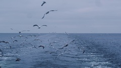 Flock of Seagulls Fly over the Sea Looking for Food Stock Footage
