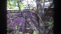 1968: squirrel in a tree MICHIGAN Stock Footage