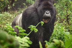 Silverback mountain gorilla in the misty forest opening mouth Stock Photos
