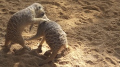 2 Lemur playing in super slow motion Stock Footage