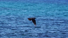 Hooded crows flying above the ocean, slow mo Arkistovideo