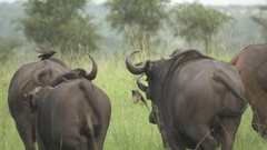 Water buffalos running in super slow motion, rear view Stock Footage