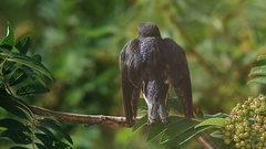 Swift birds sitting on a branch of rowan tree Stock Footage