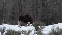 Moose (Alces alces) cow walking up to her calf, in snowcovered sage bushes Stock Footage