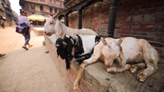 Three goats have a rest at street. Bhaktapur, Nepal Stock Footage