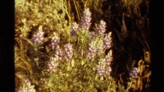 1980: pink lupine-type flower on a yellowish bush WESTERN USA Stock Footage