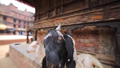 Playful goat is trying to touch the camera. Durbar square in Bhaktapur, Nepal Stock Footage