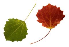 Two autumn leaves Stock Photos