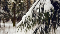 Spruce Tree Forest Covered By Snow Stock Footage