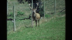 1981: stag explores his boundaries in the valley NEW ZEALAND Stock Footage