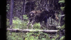 1980: moose walking in forest stepping over log GRAND TETON WYOMING Stock Footage