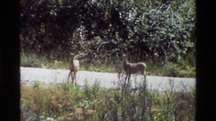 1980: some deer in the middle of the road suddenly bound away GRAND TETON Stock Footage
