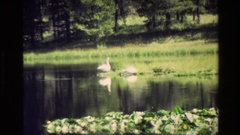 1980: two swans in a pond bobbing their heads in and out of the grass GRAND Stock Footage
