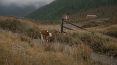 A Brown Cow Feeding On Grass At The Edge Of Boreal Forest In Siberian Mountains Stock Footage