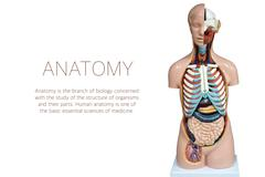 Human anatomy mannequin isolated on white background Stock Photos