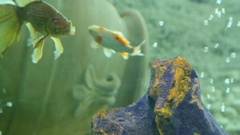 Many beautiful colourful fish with long voile tails and fine in home aquarium Stock Footage