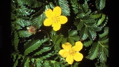 1980: green toothed leaves surround two deep yellow flowers composed of five Stock Footage