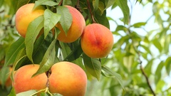 Yellow-orange peaches on branch with green leaves Stock Footage